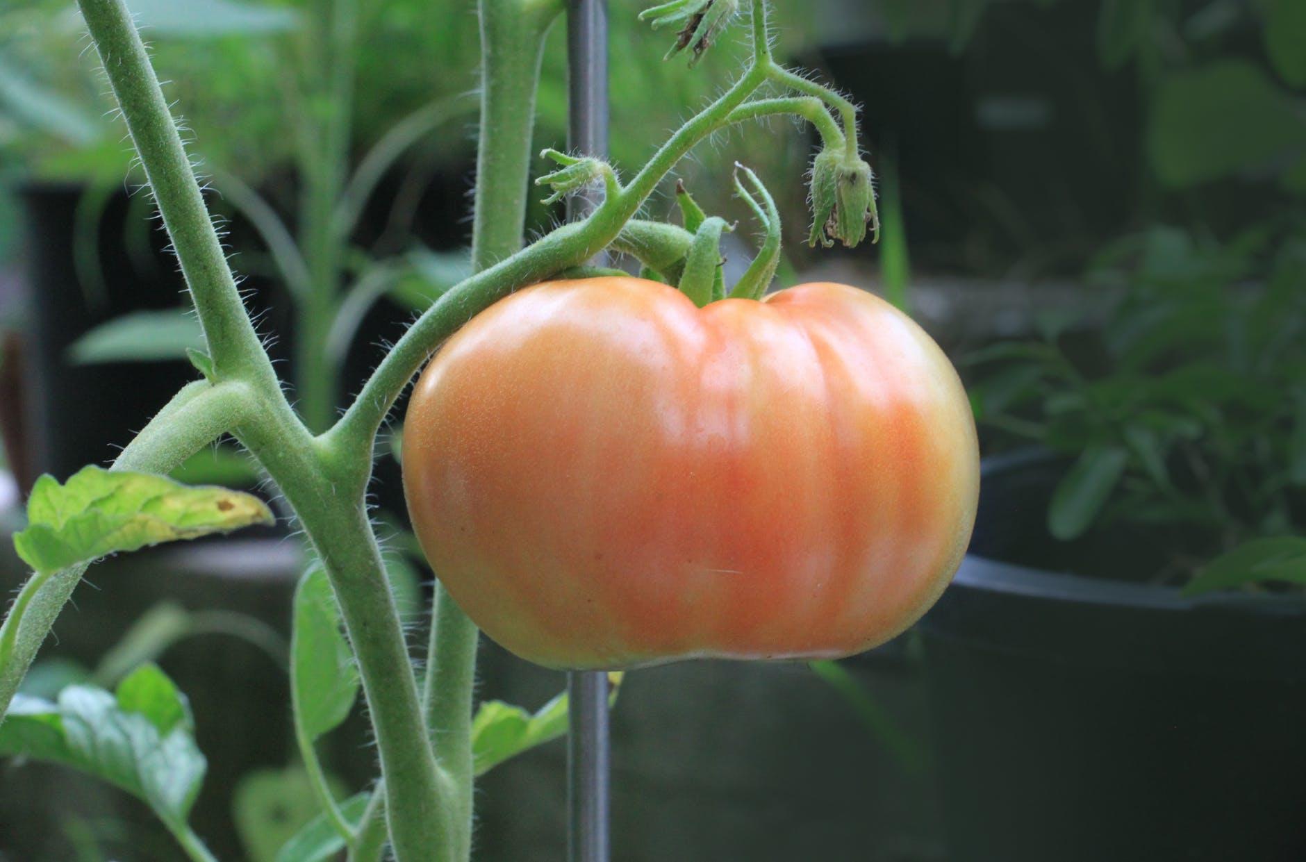 tomato-food-nutrition-plant-161554.jpeg