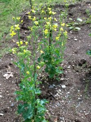 Overwintered kale, flowers edible