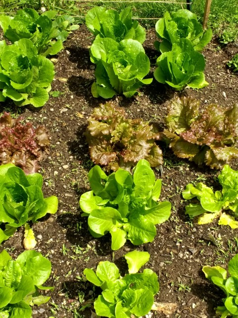 Several varieties of nicely-growing lettuce