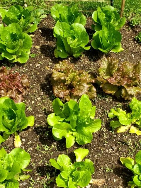 Several varieties of nicely-growing lettuce