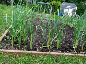 Garlic, planted last fall