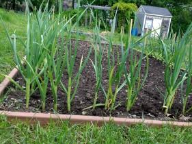 Garlic, planted last fall